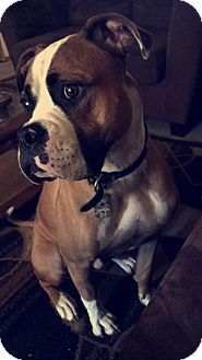China Mi Boxer American Bulldog Mix Meet Zeus A Dog For Adoption Http Www Adoptapet Com Pet 16794242 China Michi Dog Adoption American Bulldog Mix Pets