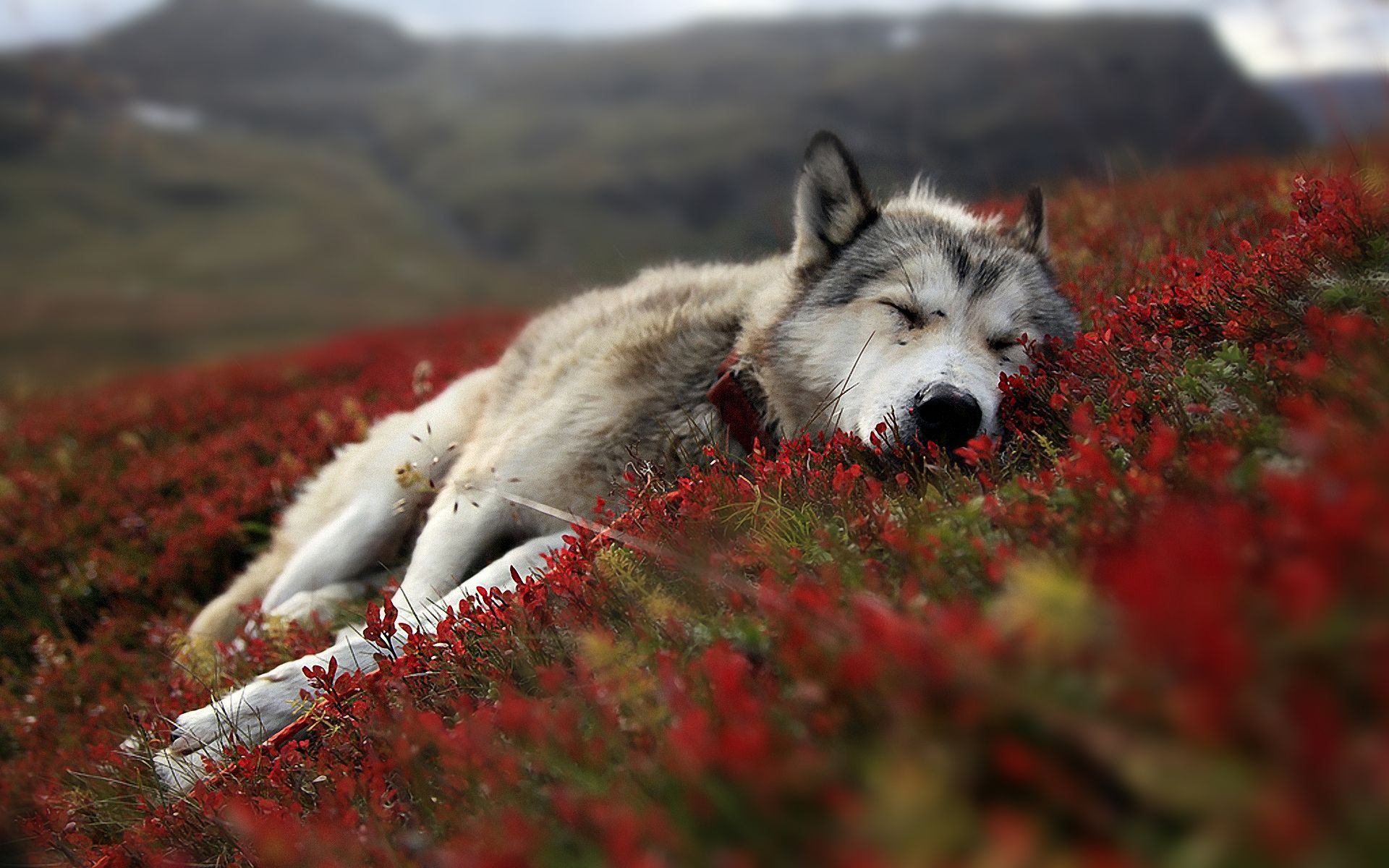 A Wolf Laying Upon Bed Of Red Flowers