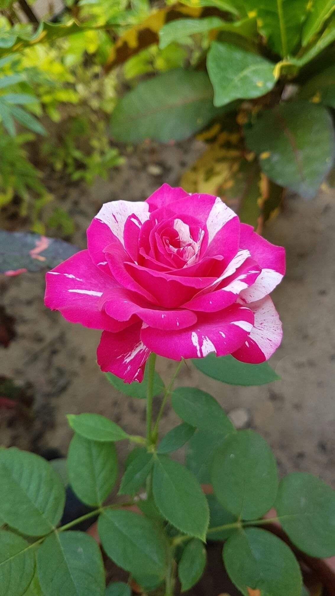 2 Rose 2 Pinterest Beautiful Roses Flowers