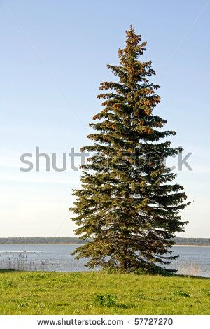 A spruce tree (Picea abies) standing on the banks of a lake or river by maigi, via ShutterStock