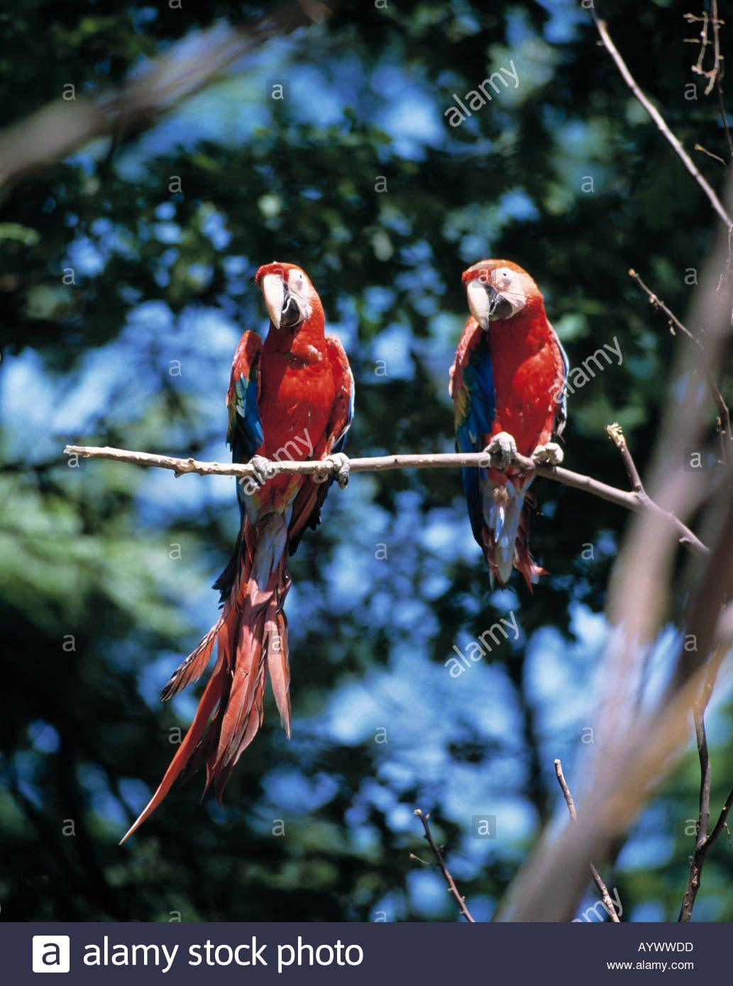 Laden Sie dieses Alamy Stockfoto Ara, zwei Aras in einem Zoo