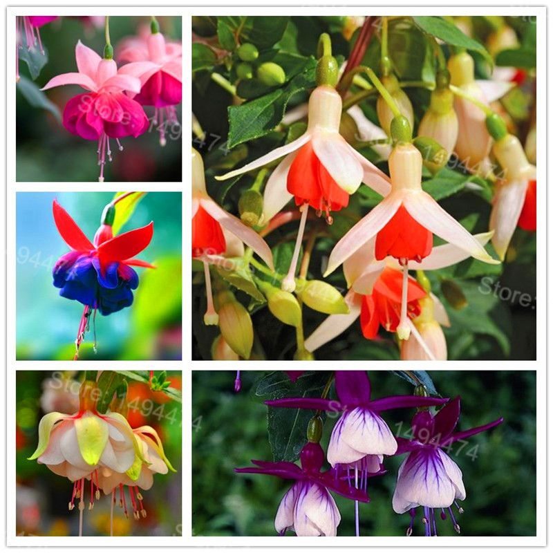 Big Sale 100pcs Colorful Fuchsia Seeds Rare Potted Perennial Flower Seeds Bonsai Plants Hanging Fuchsia Flowers Fuchsia Seeds Flowers Perennials Flower Seeds