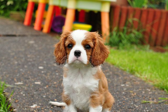 23+ Are Cavalier King Charles Spaniels Hunting Dogs