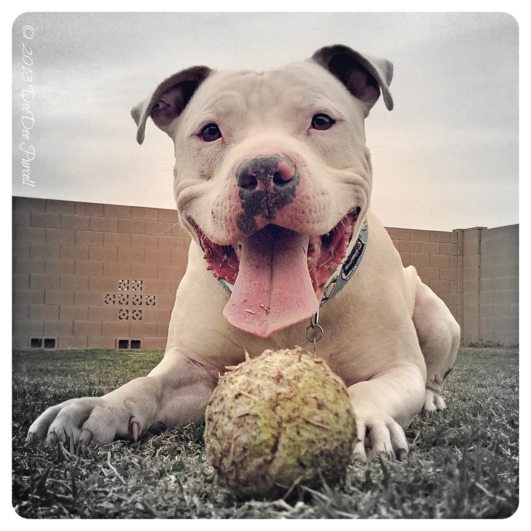 Adopt Houston On Pitbull Terrier Pitbulls Pitbull Pictures