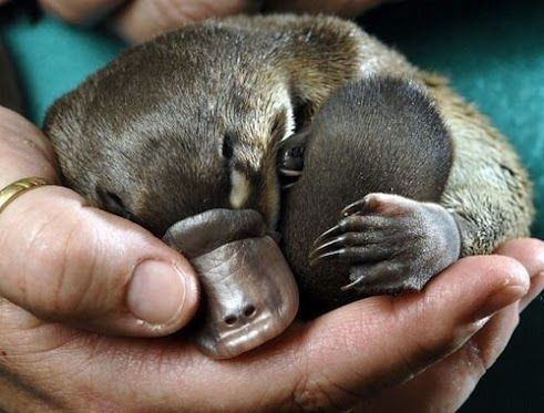 15 Adorable Photos Of Puggles Baby Platypuses Baby Platypus