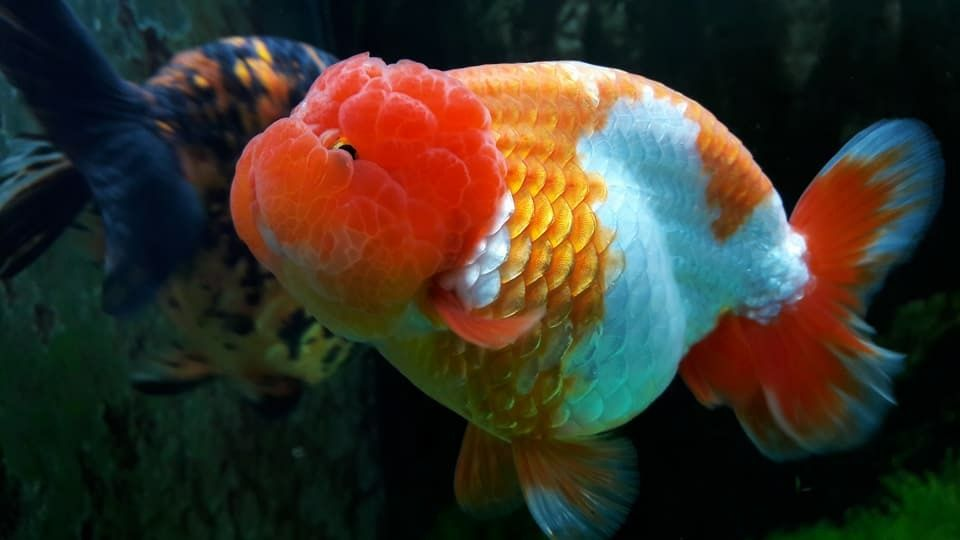 Ranchu Cute Photographer Thaihuytran Goldfish Fish Pet Pets