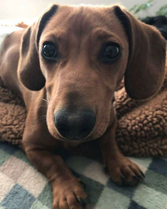 Lost Dog Jordan Dachshund Male Date Lost 06 02 2018 Dog S Name