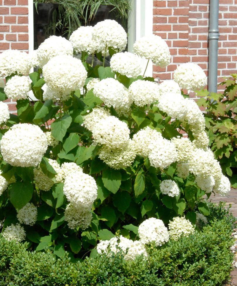 Plante Exterieur Toute Saison Pas Cher l'hortensia blanc 'annabelle' (hydrangea arborescens