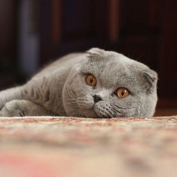 7 Amazing Amphibians Cat Scottish Fold Cat Breeds Scottish Fold