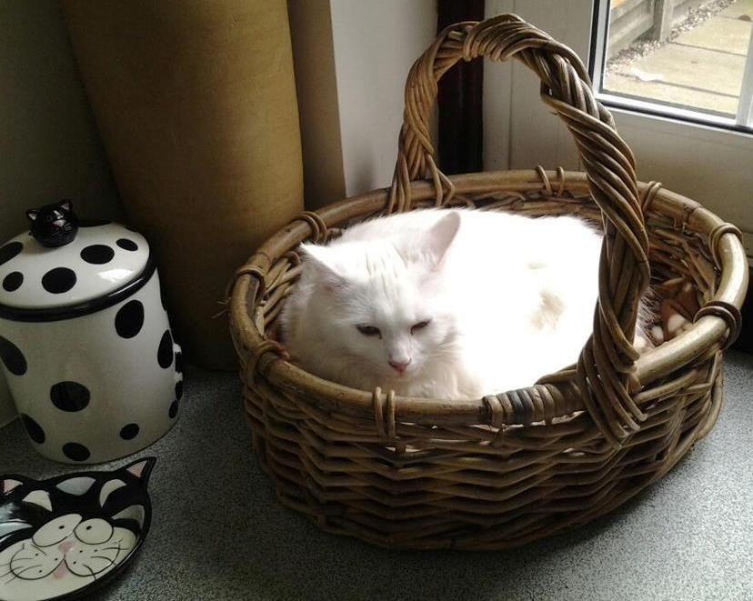 gato blanco en la cesta