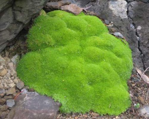Scleranthus uniflorus mousse tapissante mousses pinterest plante vivace p pini re et vivace - Couvre sol jardin japonais ...