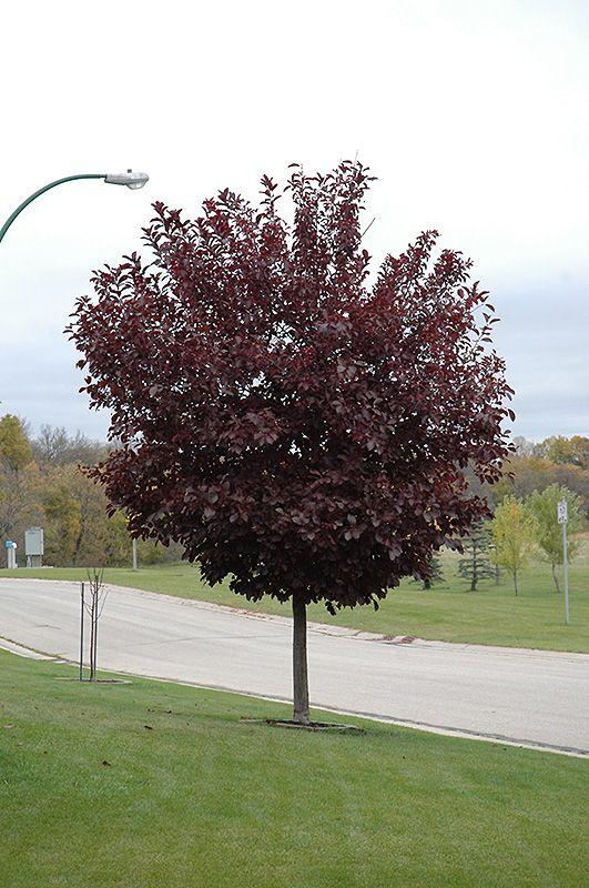 Canada Red Select Chokecherry (Prunus virginiana 'Canada ...