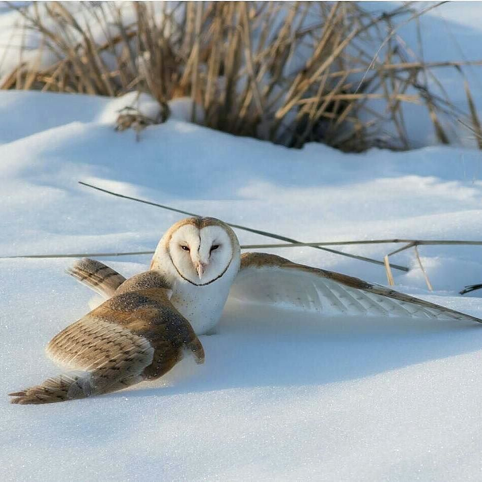 Wonderful great photo..!!   @nomagme1 -  Utah Barn Owl.  Photography by @ (Eric Reeder). A Barn Owl beginning it's hunt in the late afternoon. This owl dove into the snow to catch a vole. . #owl #owls #owllove