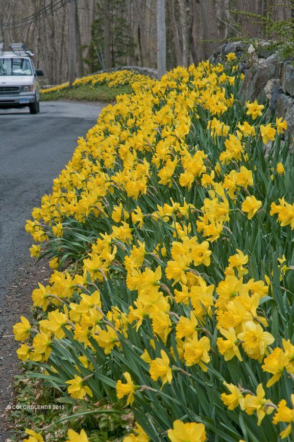 Daffodil Bulbs Daffodil Bulbs Yellow Daffodils Daffodils