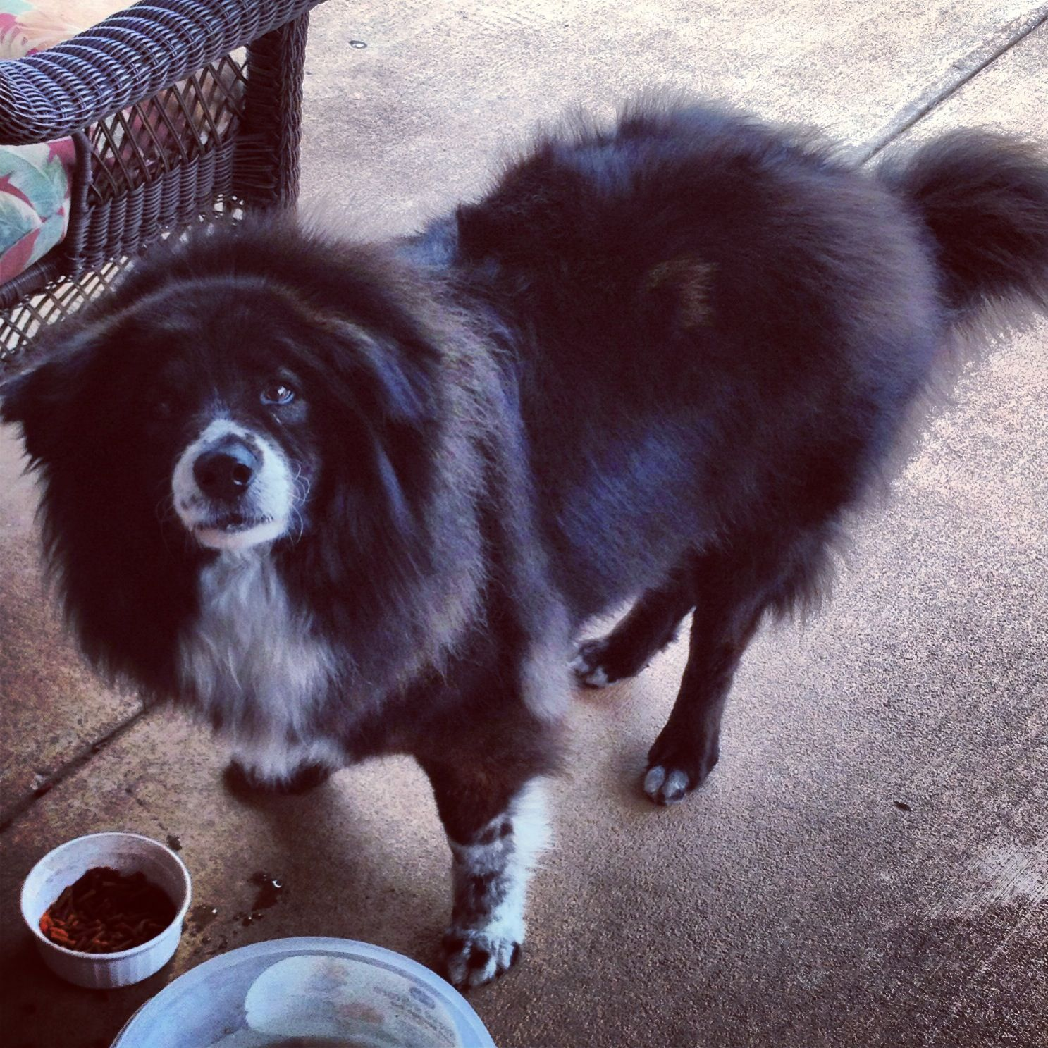 Border collie + Chow Chow mix : Rusty | Chow chow mix ...
