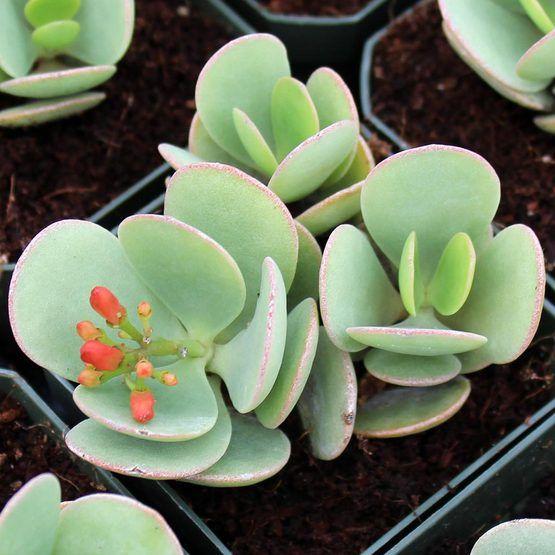 Large Variety Of Succulent Plants Available Sempervivum Sedum