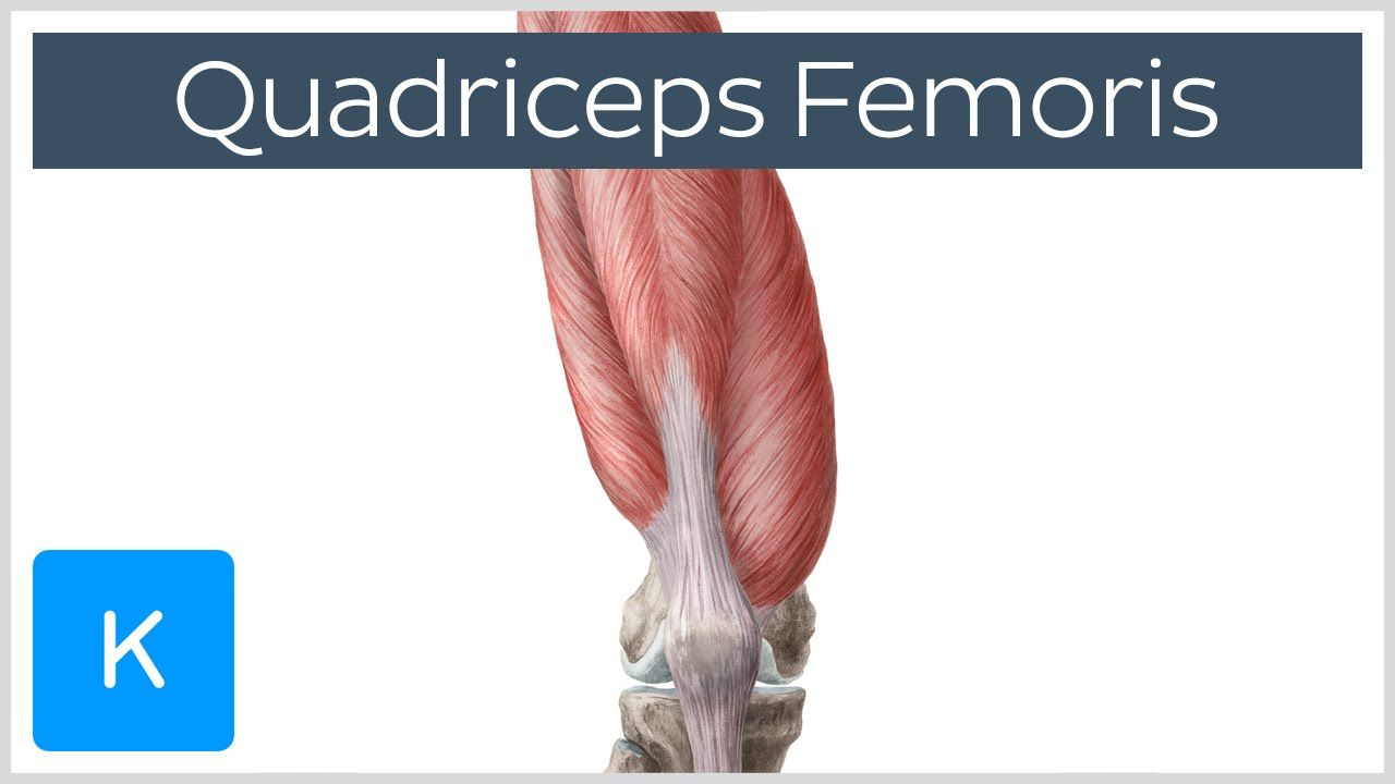 Quadriceps Femoris Muscle - Origin, Insertion and Function ...