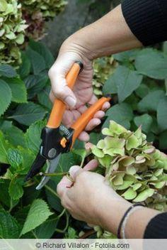 Hortensie schneiden #orchideenpflege
