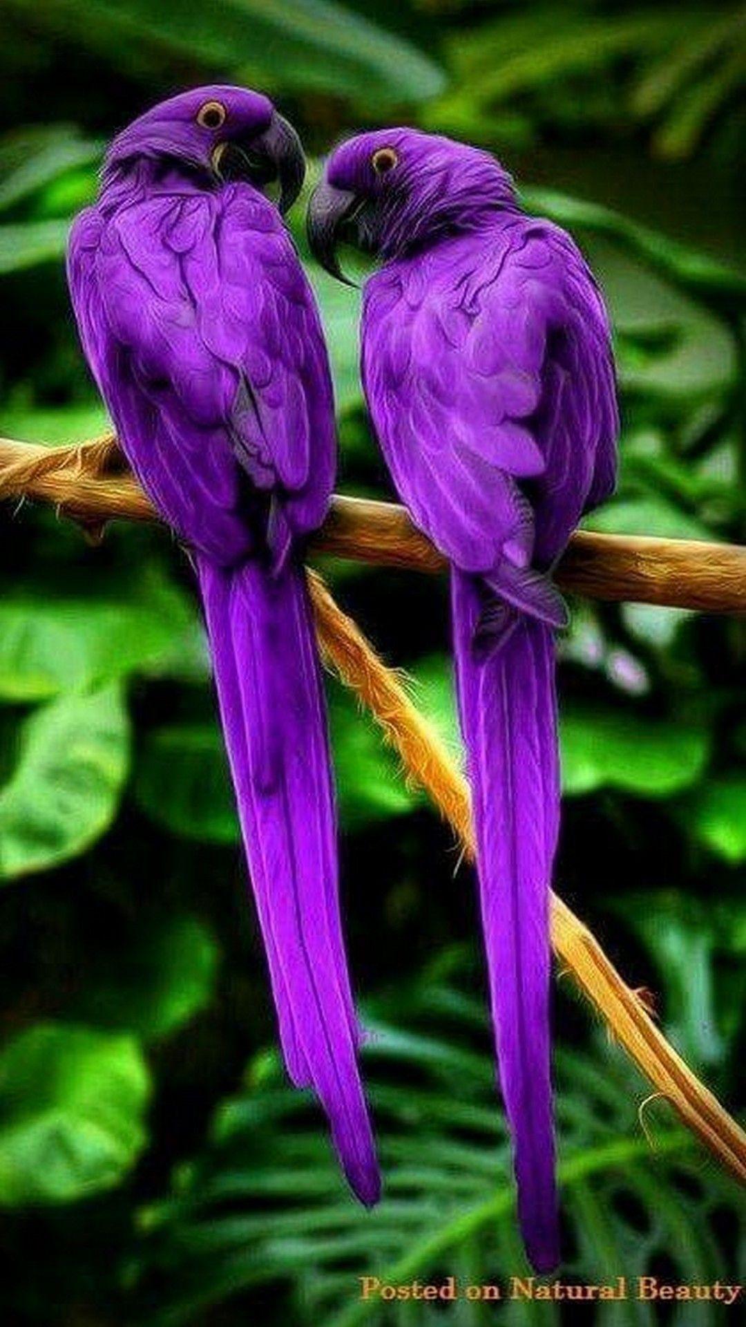 Purple Parrots Bird iPhone Wallpaper Best iPhone