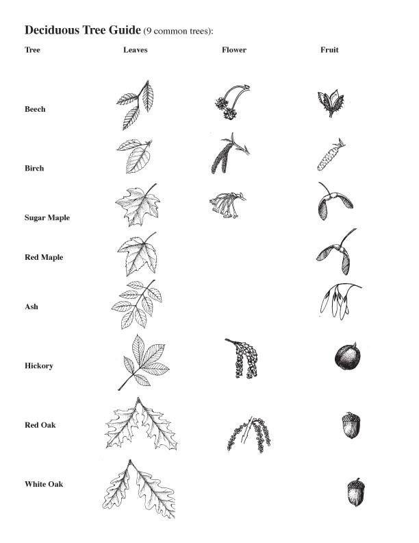 Leaf Dichotomous Key Worksheet - humorholics