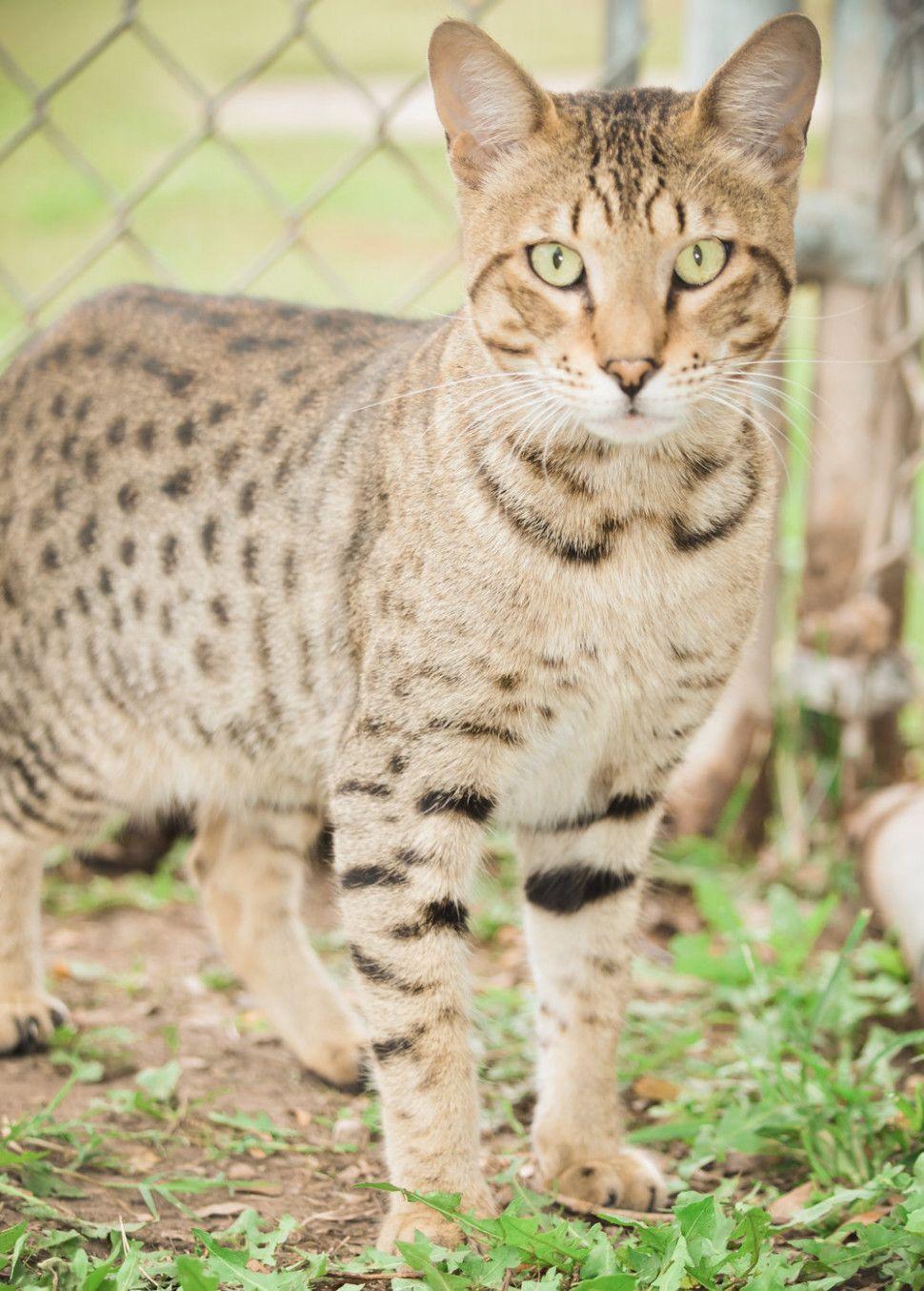 11 Cute A1 Savannah Cat Price In 2020 Savannah Cat Price Savannah Cat Serval Cats