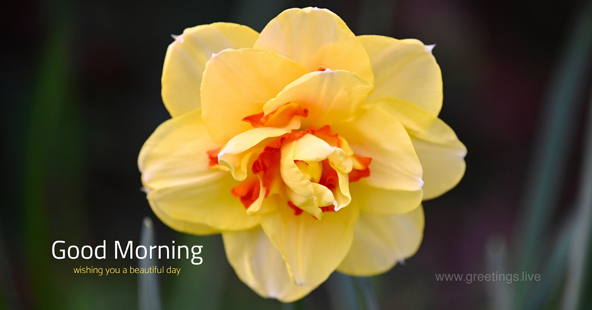 Good Morning Wishes Narcissus Flower In 2020 Narcissus Flower Flowers Good Morning Wishes