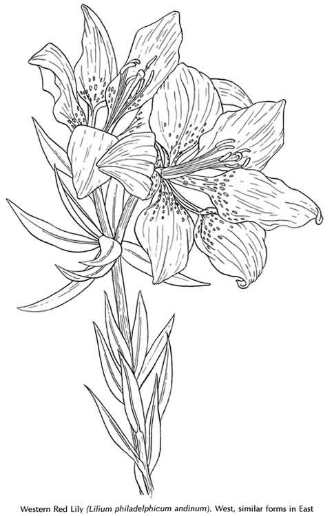 Welcome To Dover Publications American Wildflowers Coloring Book