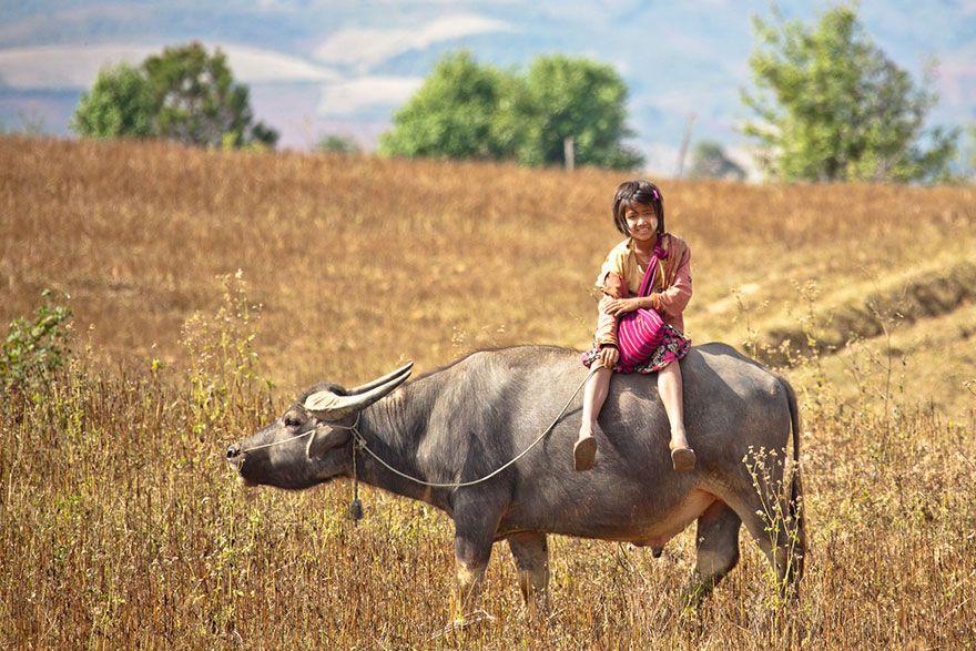 Una niña cabalgando un toro a la escuela en Myanmar
