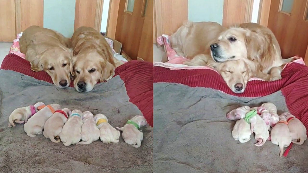 Golden Retriever Parents Watching Over Their Newborn Puppies Just