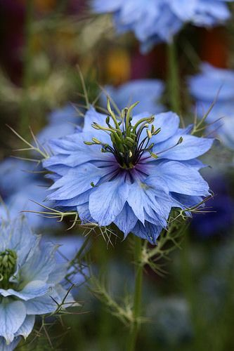Nigella Mrs Jeckly Dark Blue Garden Landscaping Blue Plants