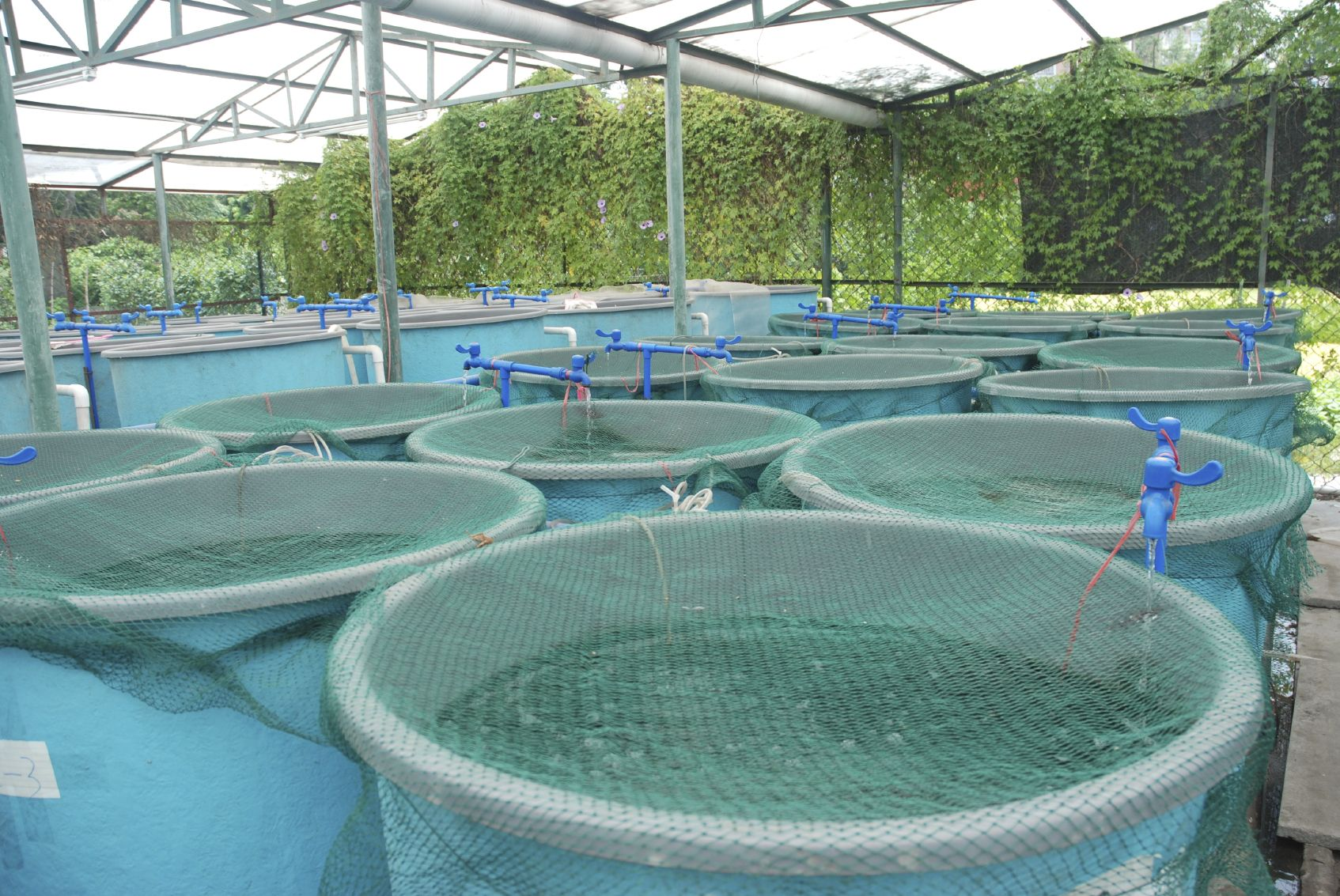 Backyard Tilapia Farming - BACKYARD HOME