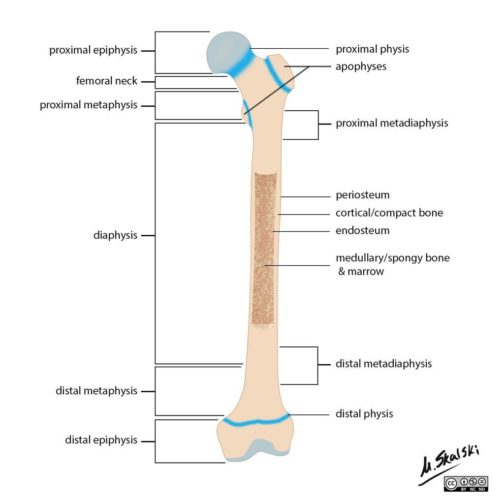 Bone terminology diagram radiology case radiopaedia bone anatomy quiz anatomy diagram pics 28 images bone quiz anatomy anatomy diagram pics foot bone anatomy human anatomy anatomy bone quiz anatomy pooptronica Images