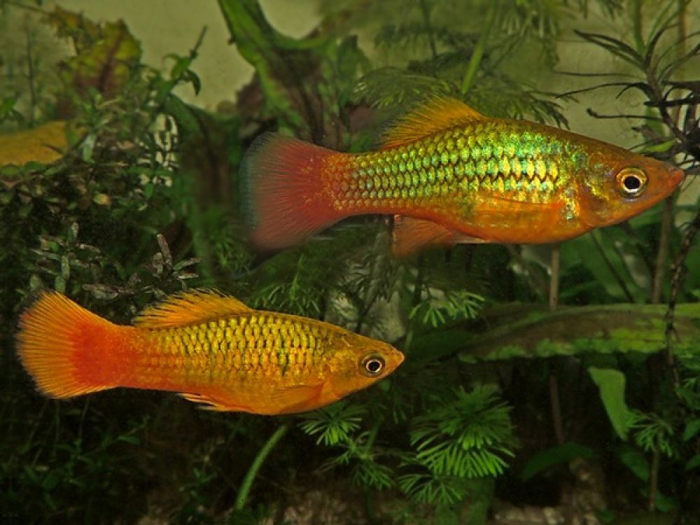 Pair Of Variatus Multicolor Platy Price 3 00 Gbp Worldwide Shipping Https Diapteron Co Uk Product Pair Of Variatus Multic Betta Aquarium Platy Fish Fish