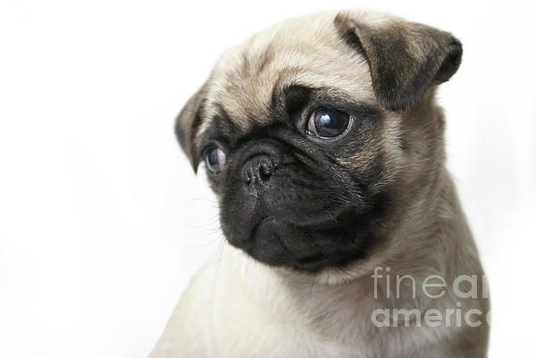 Pin By Atelier No 22 On Animals Pugs Pug Puppy Skin Problems