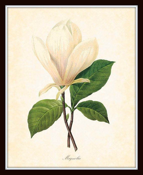 Antique Magnolia Botanical Art Print 8 x 10 Redoute Digital Collage Home Decor Wall Art