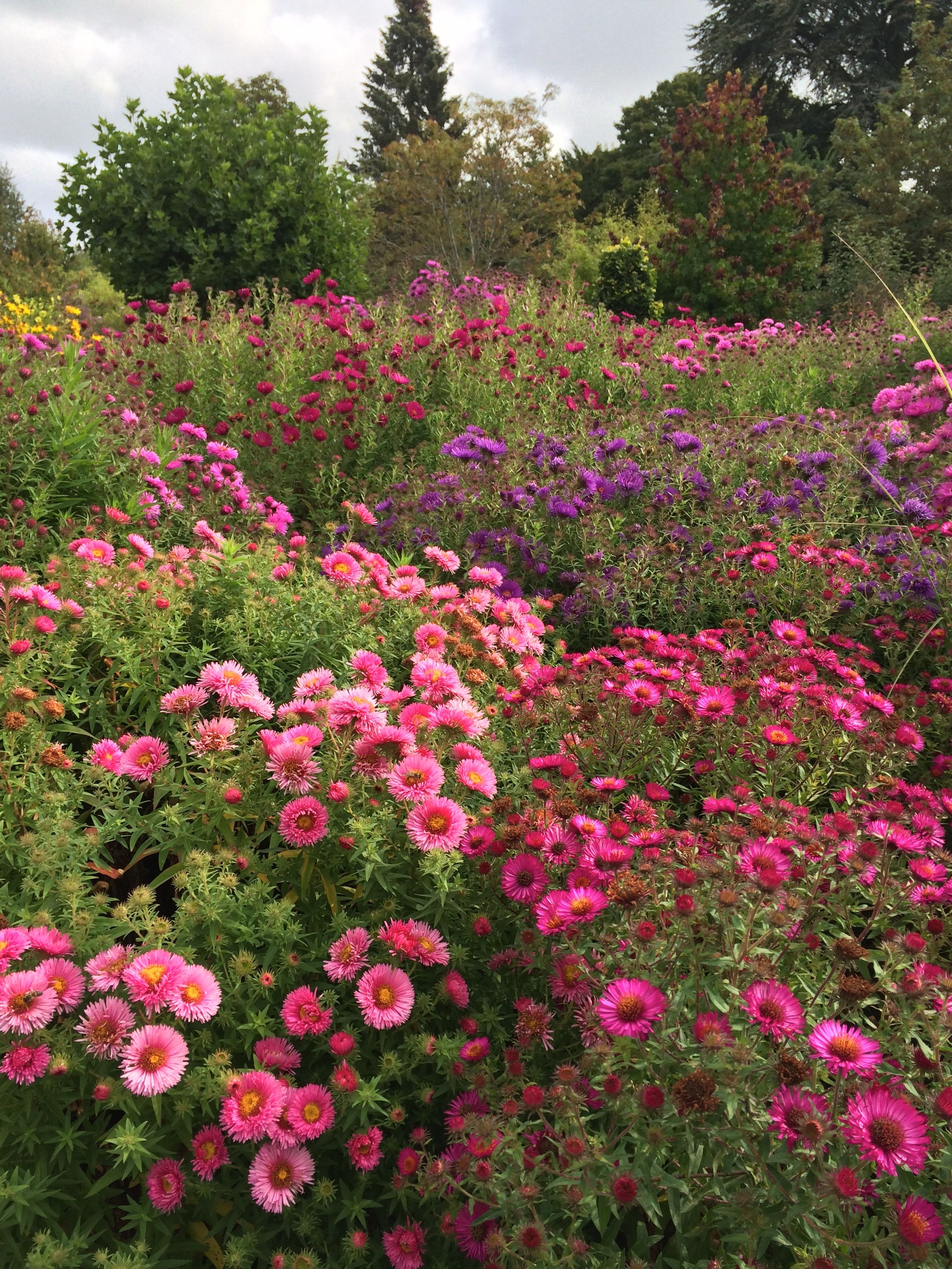 asters in the picton garden colwall near malvern gorgeous