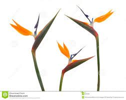 image result for bird of paradise flower images  birds of
