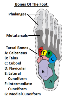 diagram showing the foot bones viewed from above more