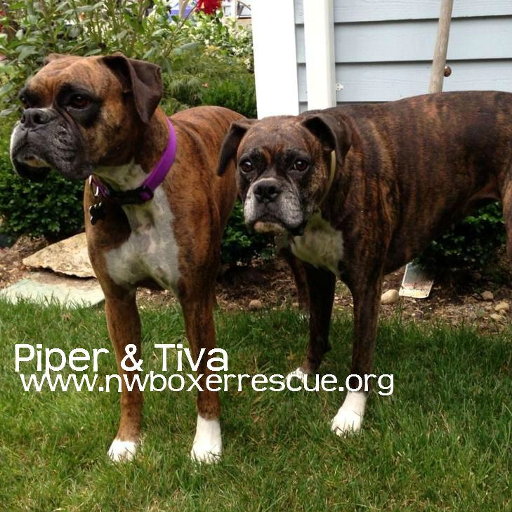 Piper Tiva Have Found Their Furever With The White Family Happy Tails P T Boxer Dogs Boxer Love Boxer