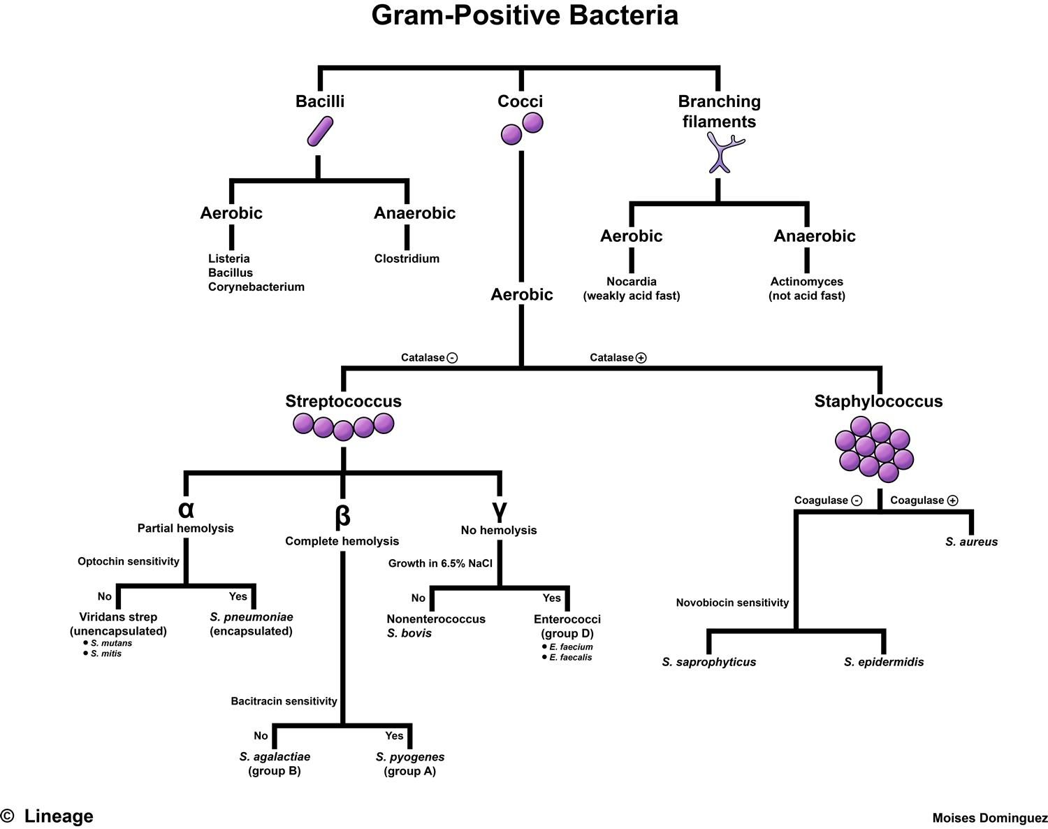 Gram Positive Bacteria Step1 Microbiology Step 1 Medbullets Com Microbiology Medical Laboratory Scientist Medical Laboratory Science