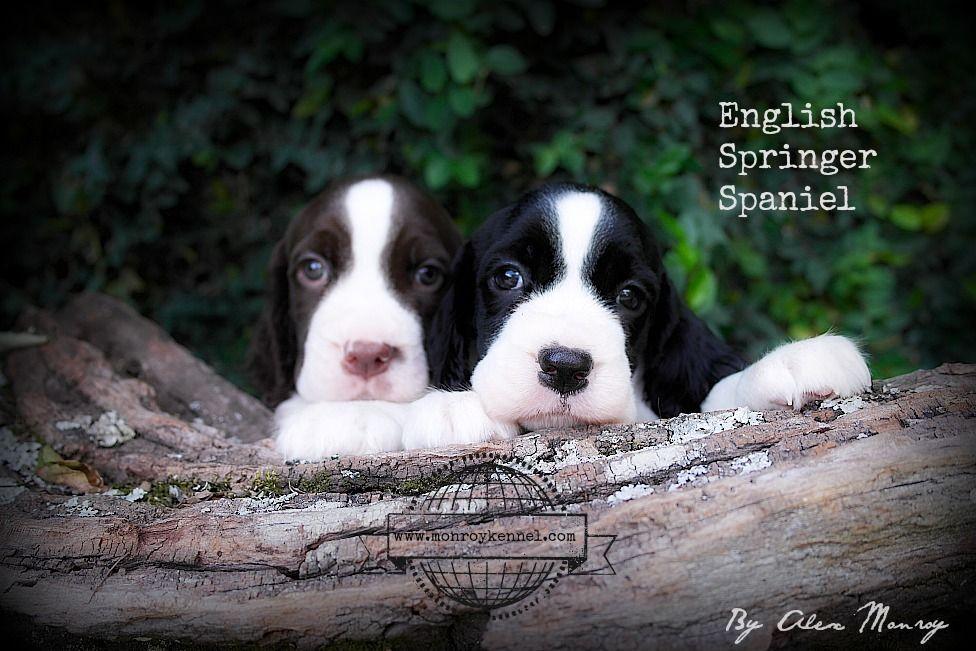 Awwwwwwwwwwwwwwwww English Springer Spaniel Springer Spaniel Puppies Springer Spaniel