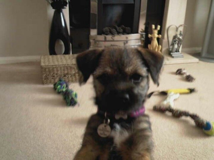 Border Terrier Pickles As A Puppy