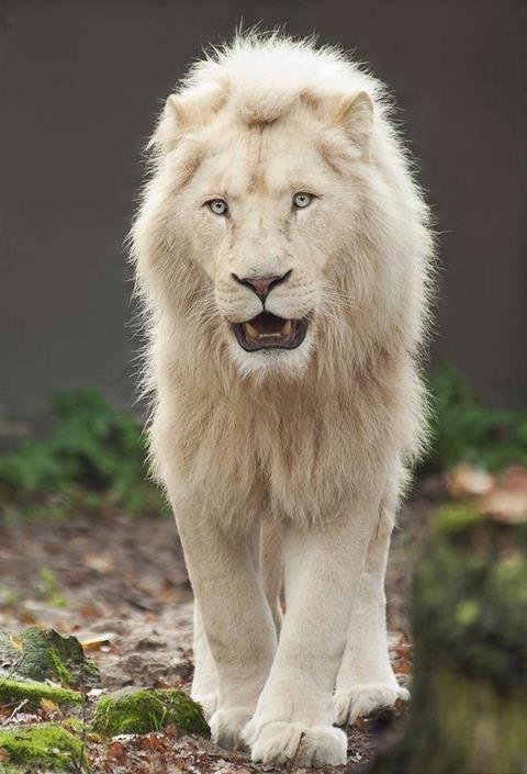 White Lion Rare Albino Animals Animals Majestic Animals