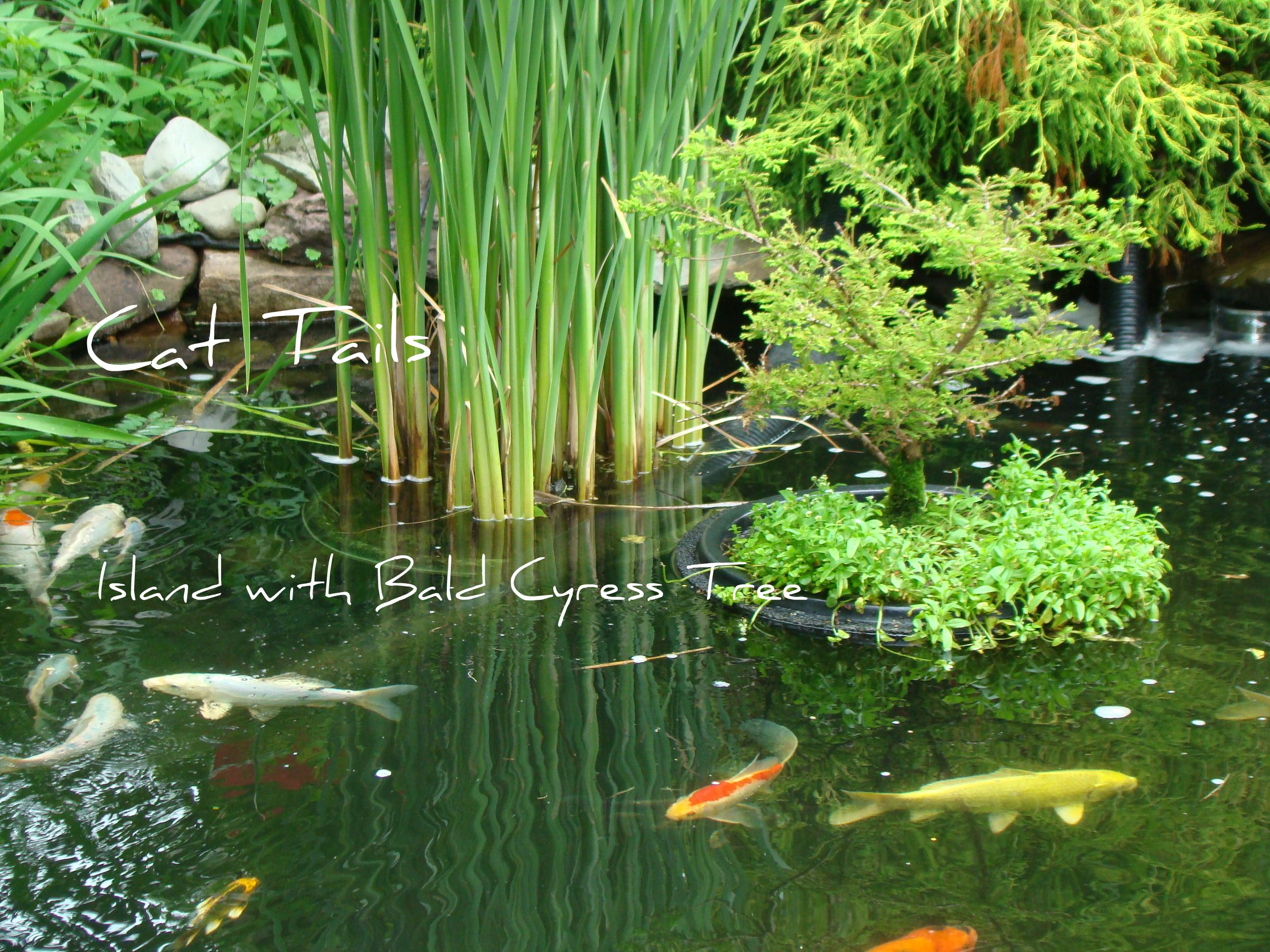 A bonsai bald cypress floating island and cat tails in my for Koi pond water plants