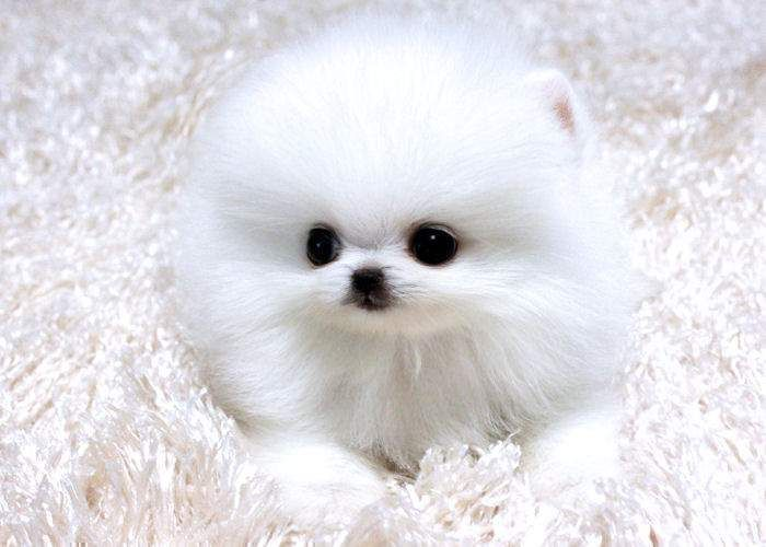 Teacup Pomeranian Puppies Sale Pomeranian Puppy Teacup