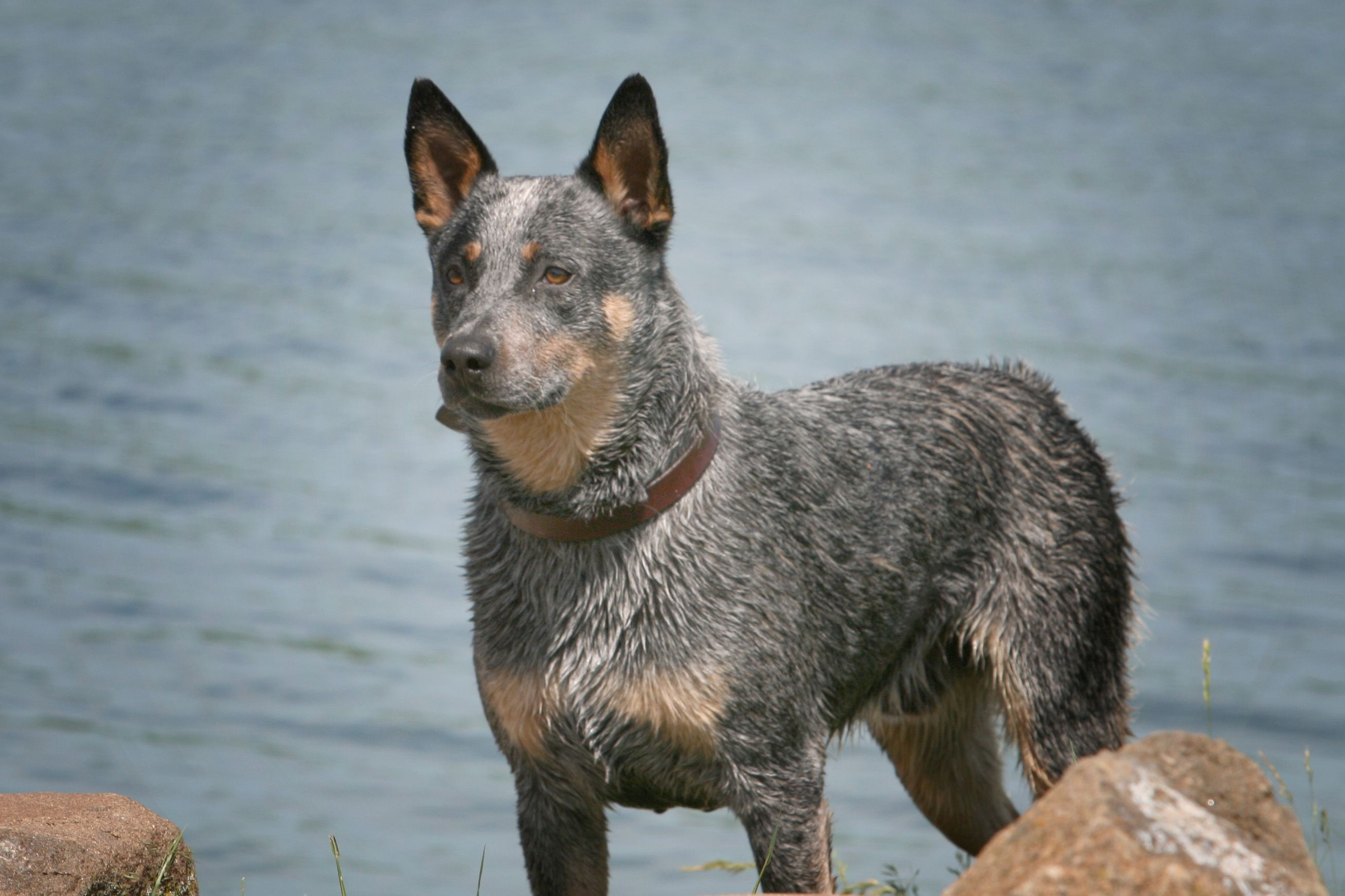Http Akinsfarms Files Wordpress Com 2012 05 Max10 Jpg Max Our Blue Heeler He Loves To Swim Caes De Gado Blue Heelers Material Do Cao