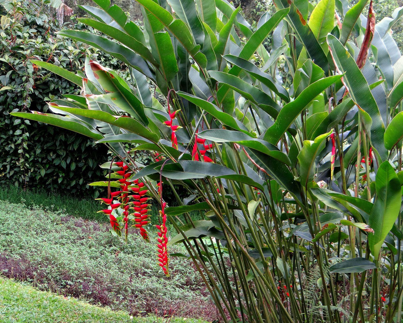 Heliconia La Planta Preferida En Jardines Tropicales Y: Patujú (Heliconia Rostrata)