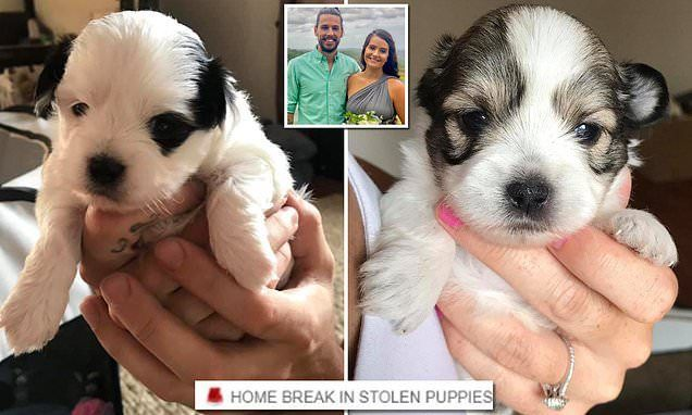 Thieves Break Into A Brisbane Home And Steal Two Maltese Shih Tzu Pups Maltese Shih Tzu Shih Tzu
