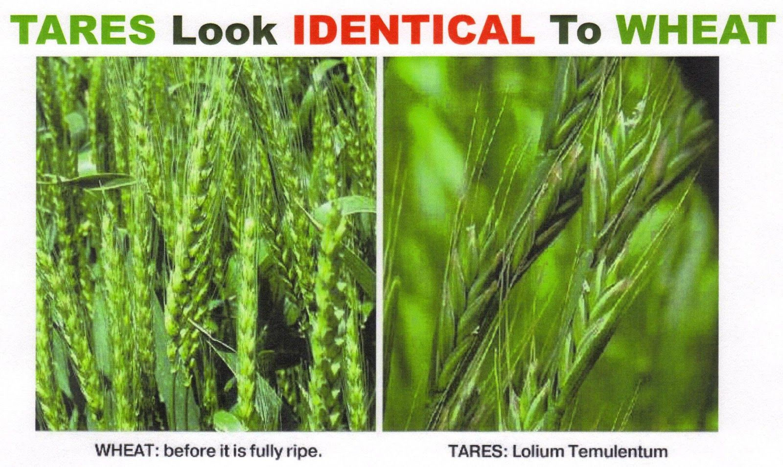 Wheat Vs Tares The Separation Must Therefore Wait Until The