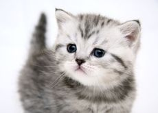 White Cats Blue Eyes Kittens 1600x1200 Wallpaper Cute Baby Cats